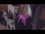 Развод о розовых  щенках лабрадорах.