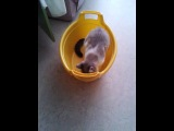 глупая кошка