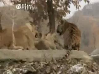 Tiger vs Lion: Tiger vs Lion - Amazing fight - more on secrets-of